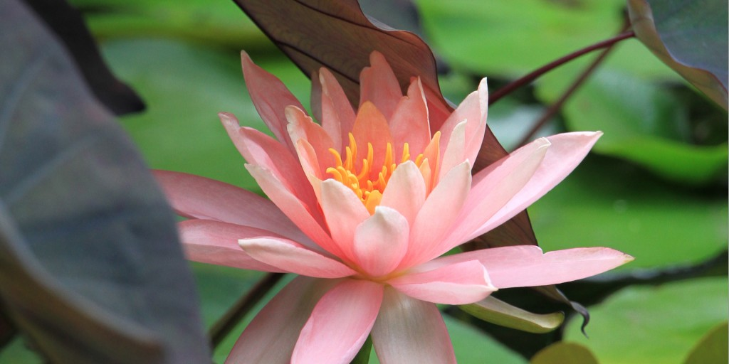 water-lily-for-homepage-1024x512.jpg
