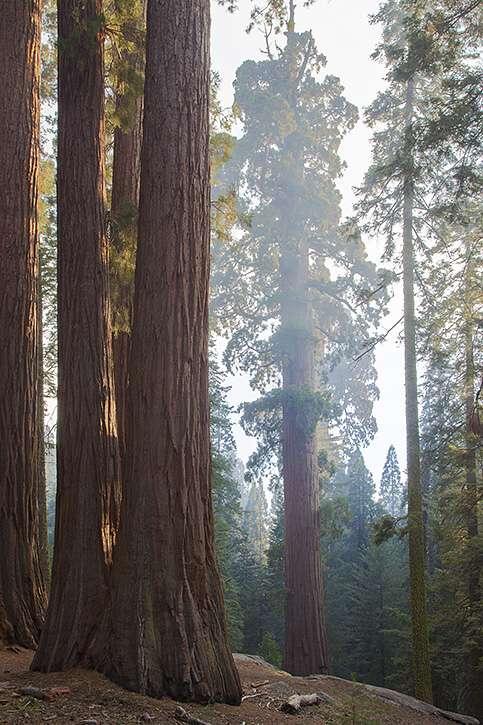 Sequoias2.jpg