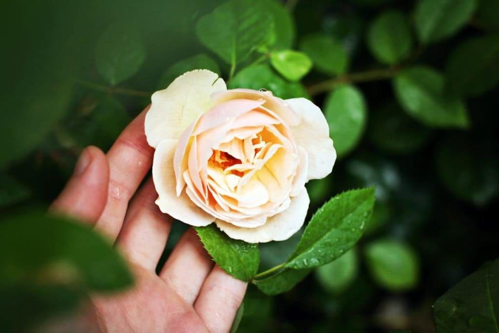hand-holding-a-rose-1024x683.jpg