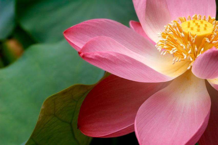 iStock-lotus-flower.jpg